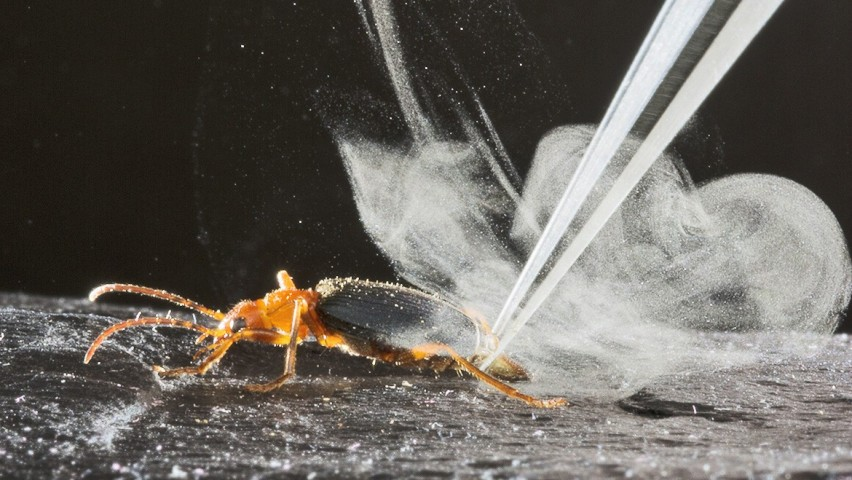 A bombardier beetle surrounded by a plume of gas on a black surface. A laser is being fired at the beetle creating the smoke.